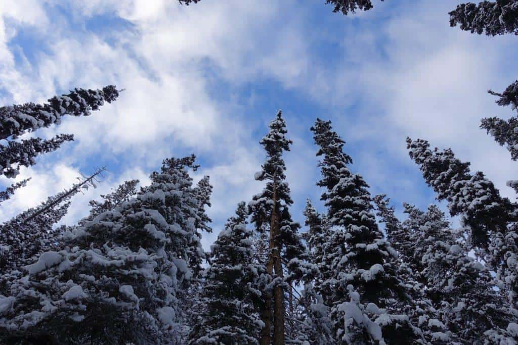 Canopy of snow capped fir along the hiking trail to Agnes Falls | Hiking Trails in Banff Alberta