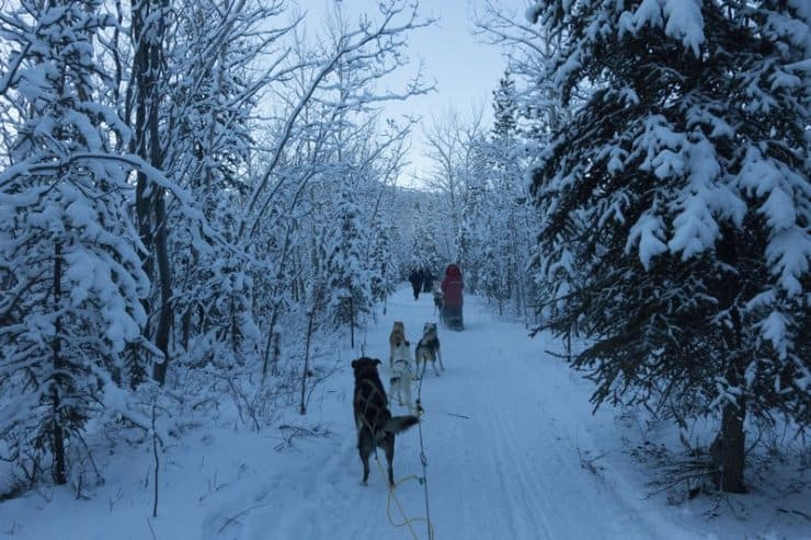 Dog Sledding Yukon | As you can see, my sled dogs are perpetually excited to move along fast, especially my last dog Gobo