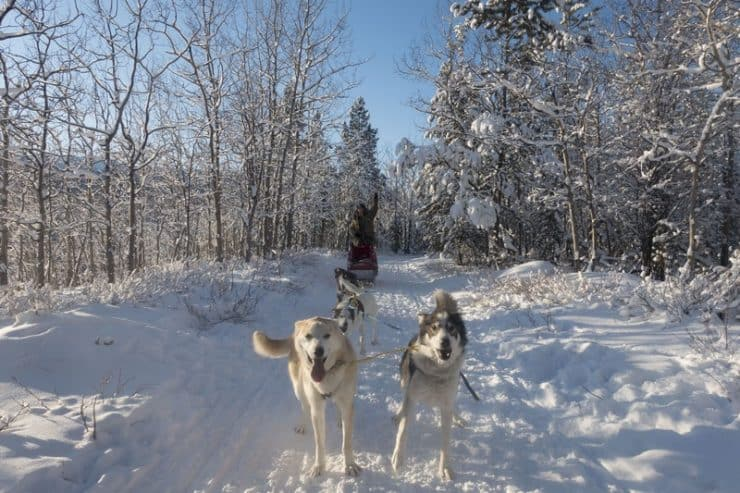 Husky Sled Dog Experience - my awesome sled dogs all ready to take off | whitehorse huskies