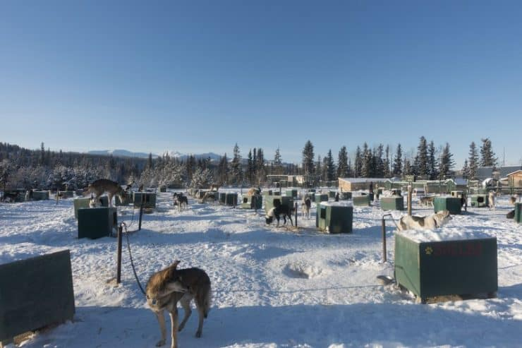 The compound has almost 150 sled dogs, with all types of breds from mixed to pure Siberian huskies