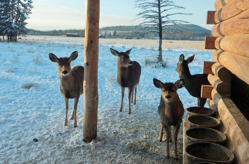 winter wildlife of whitehorse Adorable mule deer staring at us in bemusement