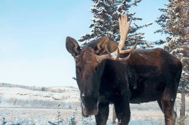 Winter Wildlife of Whitehorse I Male Moose have lost one of his antlers during a fight