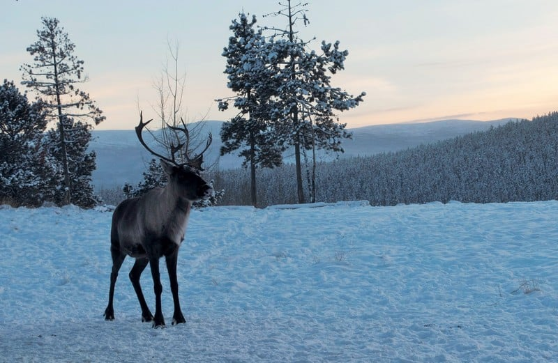 Stunning sight of the Woodland Caribou with the sunset, or more commonly known name as Reindeer