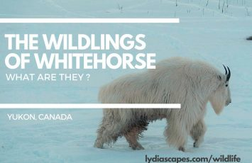 The wildlings of whitehorse - Yukon Wildlife Preserve by Lydiascapes Travel