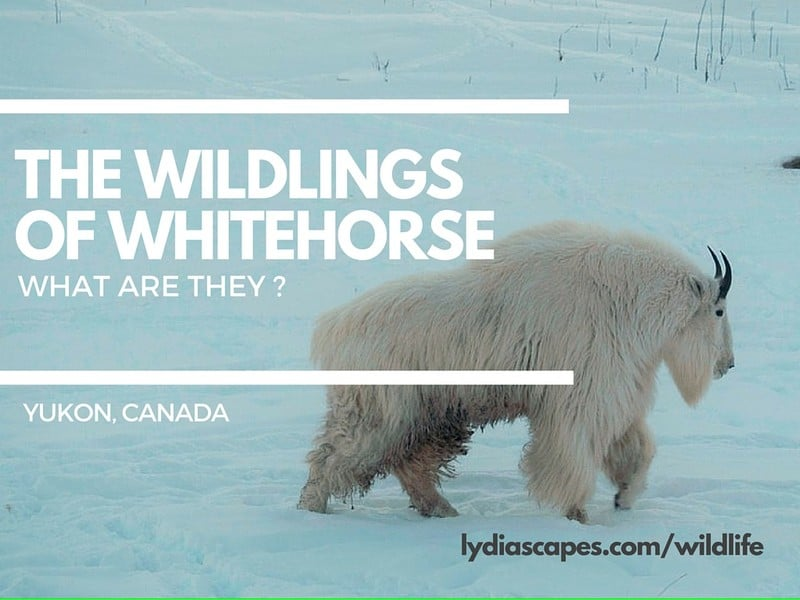 8 Stunning Winter Wildlife of Whitehorse Yukon