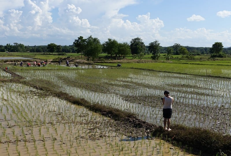 Stretches of rice padi fields - Thailand Eco Tourism