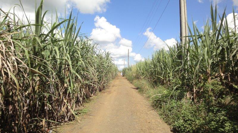 Sugarcane plantations in Mauritius