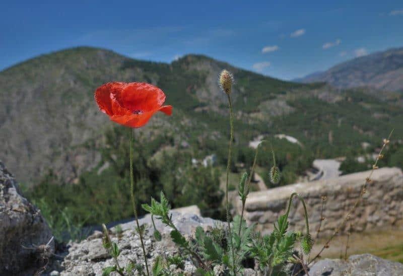 The lone poppy of Turkey - visit the black sea region of Turkey