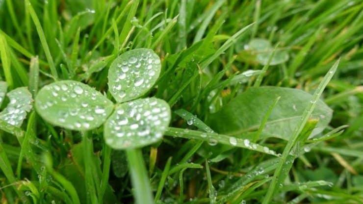 Green 3 leaf clovers of Ireland
