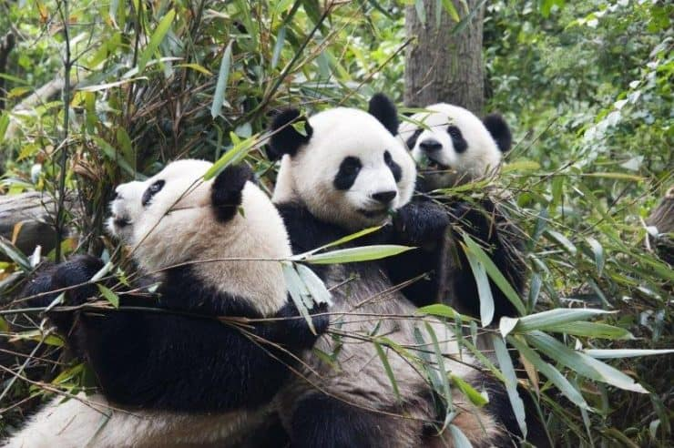 Pandas of China Chengdu