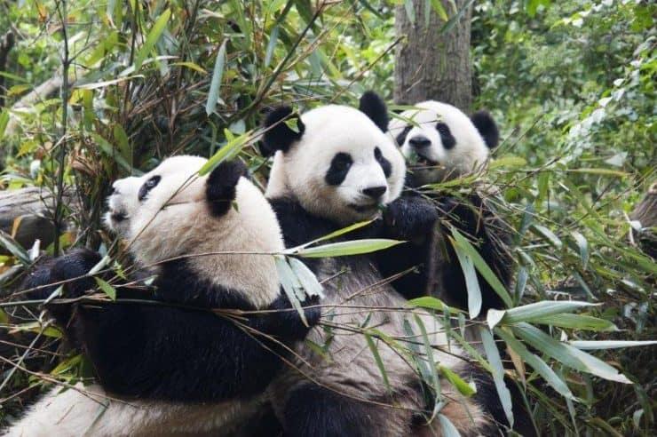 Pandas of China Chengdu
