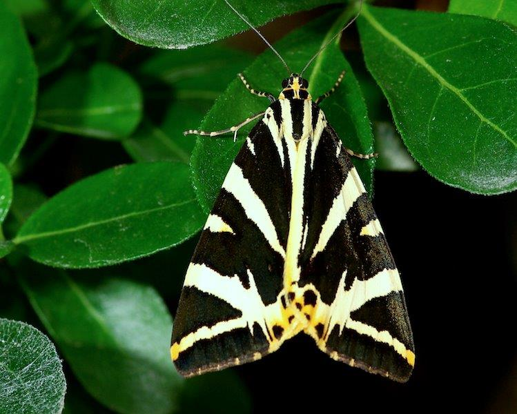 Jersey Tiger Moth (Source: Wikimedia Commons)