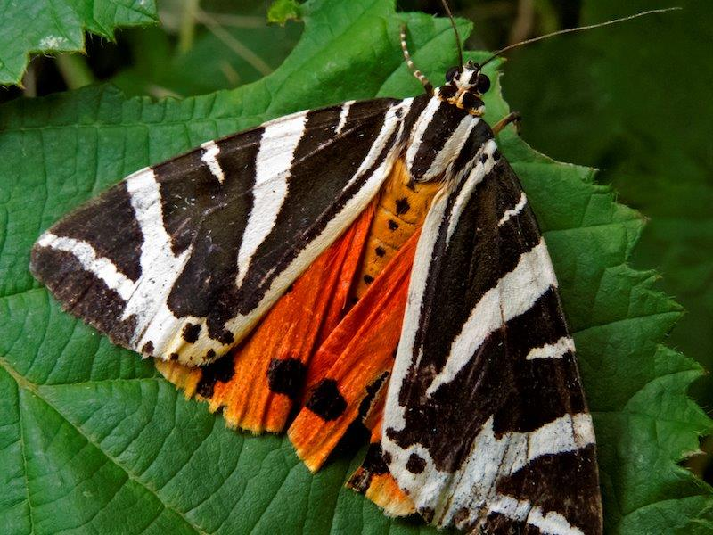 The extremely rare Jersey Tiger Butterfly (Source: Wikimedia Commons)