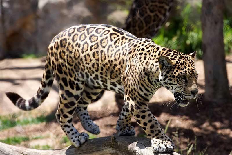 Leopard in natural habitat