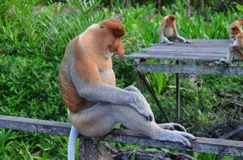 Proboscis monkey in Borneo island