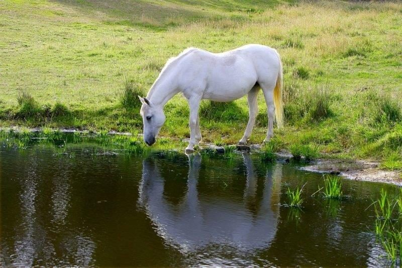 White pony drinks from lake
