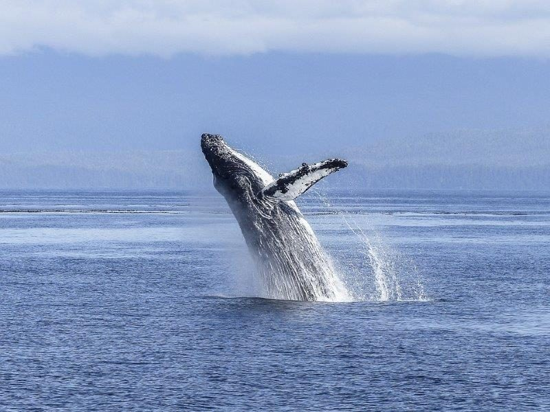 Whale jumping out of the water  | Islands in Canada and beyond