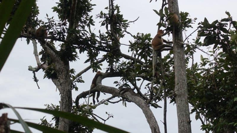 peek of the rare proboscis monkeys native to the island
