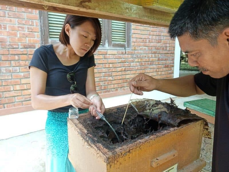 extracting honey from stingless bees hives in Brunei